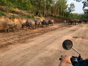Büffelherde auf unserem Weg zurück nach Luang Prabang
