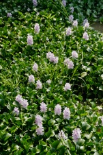 Blütenpracht am Inle See