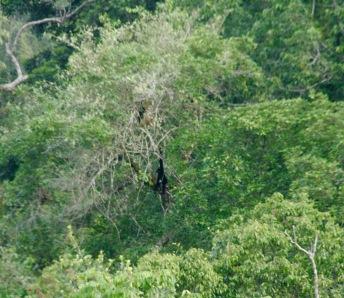 Gibbons hangeln sich entlang der Bäume