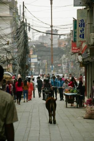 Heilige Kuh in den Straßen Kathmandus