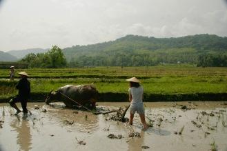Jasmin lockert den Boden mit Rudolf dem Büffel auf