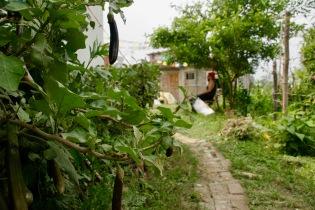 Mini-Auberginen im Garten von Rajans Familie