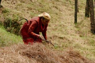 Nepalesinnen arbeiten auf den Feldern im Kathmandu-Tal