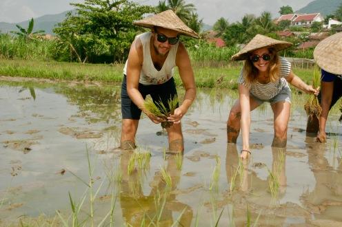 Nun wird der Reis geplanzt