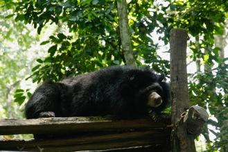 Schlafender Malaienbär