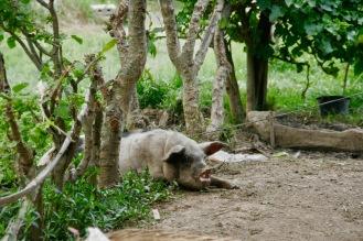 Schweinchen Babe in Kaung Daing