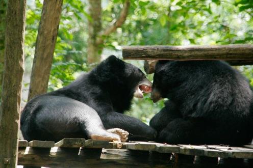 Spielende Bären bei den Kuang Si Wasserfall