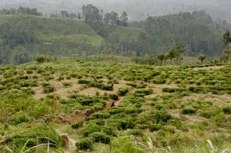 Arbeiterinnen pflücken die Teeblätter