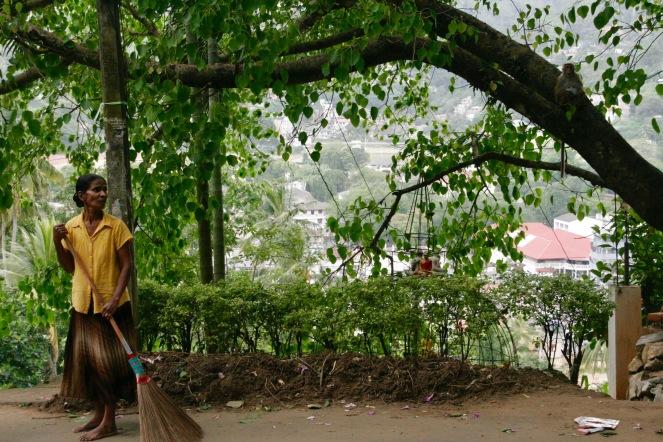 Frecher Affe im Baum während Singhalesin fegt