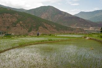 Reisfelder, Berge und ein leichter Wind - wunderschönes Punakha Tal