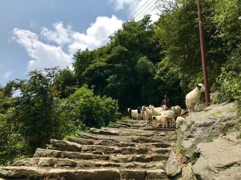 Ziegen grasen am Rande der scheinbar niemals endenden Stufen