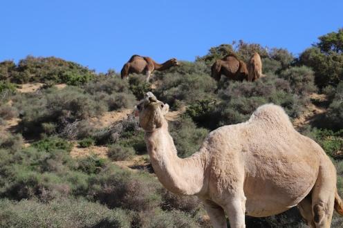 L'Ane Vert - Kamele