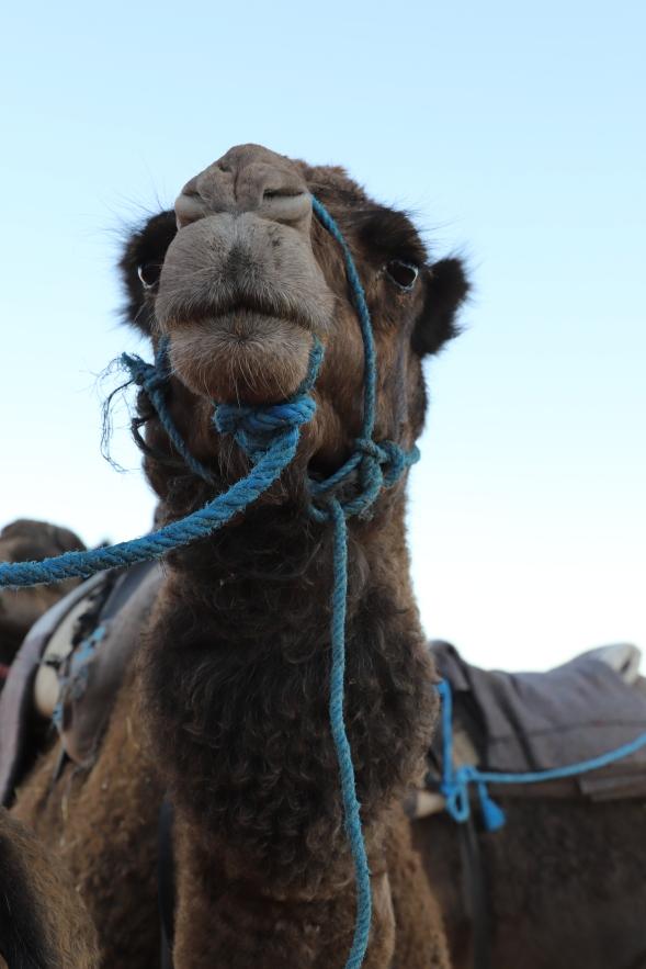 Sahara Tour - Kamele in der Sahara