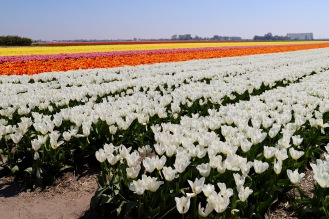 Tulpen-Overload in Hillegom