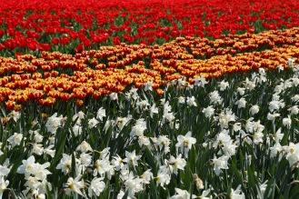 Tulpen und Osterglocken in Hillegom