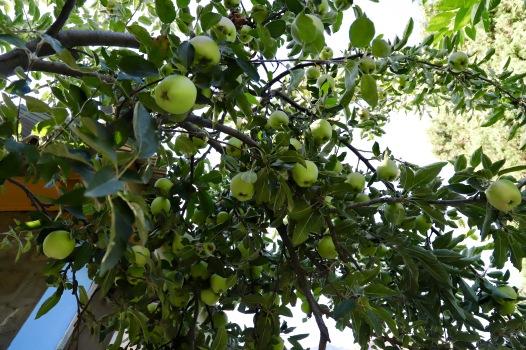Apfelbäume en masse in Minapin