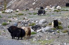 Yaks auf dem Weg zum Khunjerab Pass